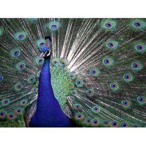 PEACOCK 10537 CROSS STITCH CHART: Home & Kitchen