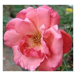 Galway Bay Rose Seeds Packet Patio, Lawn & Garden