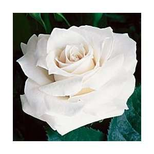 John F. Kennedy Hybrid Tea Rose:  Kitchen & Dining
