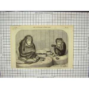 Chimpanzee Monkey Ourang Outang Old Antique Print