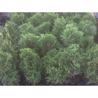 Thuja Emerald Green Arborvitae ~ 30 trees~  4 inch pot. Most popular