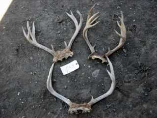 BIG 112 3/8 Blacktail Deer Rack antlers mule whitetail