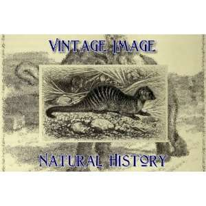 Magnet Vintage Natural History Image Banded Mongoose Home & Kitchen