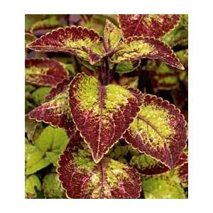 Coleus Mt. Washington Patio, Lawn & Garden