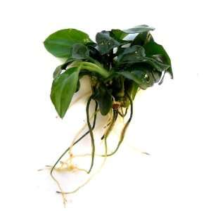 Anubias barteri Nana Petite Live Aquarium Plant Pet Supplies