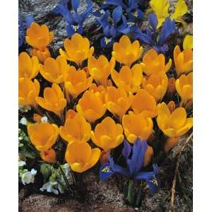 Golden Bunch Flower Bulbs   24 Bulbs: Patio, Lawn & Garden