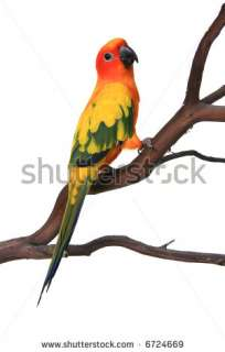 Conure Bird Parrot On A Tree Branch Stock Photo 6724669 : Shutterstock